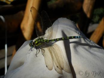 Libelula (dragonfly)