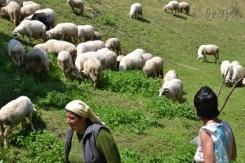 Ciobanita cu oile