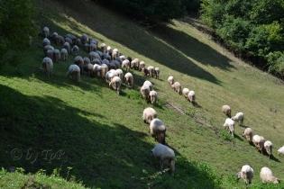 Turma de oi de la cetate