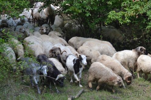 Turma de oi si capre